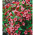 Garten-Welt 5 Meter Blüh-Hecken- Kollektion, 6 Pflanzen mehrfarbig (5)