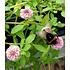"""Garten-Welt Lippia """"Summer Pearls®"""" rosa, 4 Pflanzen rosa (5)"""