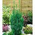 Garten-Welt Eiben-Hecke , 1 Pflanze grün (2)