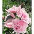 "Garten-Welt Gefüllter Hibiskus ""Chiffon®"" , 1 Pflanze rosa (2)"