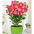 Garten-Welt Zimmerpflanzen-Kollektion 2 Pflanzen mehrfarbig (2)