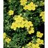"""Garten-Welt Fingerstrauch """"Goldfinger"""" , 1 Pflanze gelb (2)"""