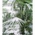 Garten-Welt Winterharte Kübel-Palme 1 Pflanze grün (2)