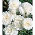 """Garten-Welt Rose """"Sea Foam"""", 1 Pflanze weiß (2)"""