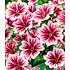 "Garten-Welt Stauden-Malve ""Zebrina"" , 3 Pflanzen rosa (2)"