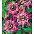 "Garten-Welt Winterharte Passionsblume ""Ladybirds Dream"", 1 Pflanze pink (2)"