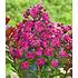 Garten-Welt Flieder des Südens 1 Pflanze pink (2)