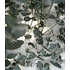 "Garten-Welt Winterharter Eukalyptus ""Azura®"", 1 Pflanze blau (2)"