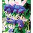 """Garten-Welt Winterharte Fuchsie """"Blue Sarah"""", 3 Pflanzen blau (2)"""
