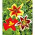 Garten-Welt Tree-Lilies®-Kollektion 6 Knollen mehrfarbig (2)