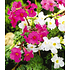 Garten-Welt Incarvillea Blüten-Mix 3 Stück mehrfarbig (2)