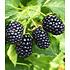 "Garten-Welt Säulen-Brombeere Navaho® ""Big&Early"", 1 Pflanze schwarz (2)"