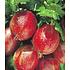 """Garten-Welt Stachelbeer-Stämmchen """"Captivator"""", 1 Stamm rot (2)"""