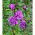 "Garten-Welt Freiland-Hibiskus ""French Cabaret"", 1 Pflanze lila (2)"