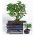 "Garten-Welt Bonsai Carmona ""Fukientee"" mit Schale, 1 Pflanze grün (2)"