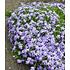 """Garten-Welt Agapanthus """"Blue"""" , 3 Knollen blau (2)"""