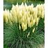 Garten-Welt Weißes Pampasgras 1 Pflanze weiß (2)