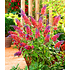 "Garten-Welt Buddleia ""Flower Power®"", 1 Pflanze mehrfarbig (2)"