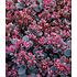 "Garten-Welt Sedum Sun Sparkler® ""Sedoro Blue Elf"", 2 Pflanzen rot (2)"