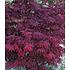 """Garten-Welt Japanischer Ahorn """"Burgund"""", 1 Pflanze rot (2)"""