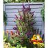 """Garten-Welt Buddleia """"Straight UP - """"Butterfly Tower"""", 1 Pflanze lila (2)"""