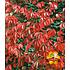 """Garten-Welt Wilder Wein """"Quinquefolia"""", 1 Pflanze rot (2)"""