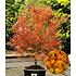 Garten-Welt Japanische Ahorn-Kollektion 2 Pflanzen mehrfarbig (2)
