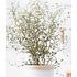 "Garten-Welt Maori® Sophora Cotoneaster ""Little Baby"", 1 Pflanze gelb (2)"