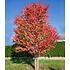 Garten-Welt Lebkuchenbaum , 1 Pflanze rot (2)