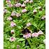 """Garten-Welt Lippia """"Summer Pearls®"""" rosa, 4 Pflanzen rosa (4)"""
