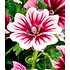 "Garten-Welt Stauden-Malve ""Zebrina"" , 3 Pflanzen rosa (3)"