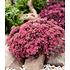 "Garten-Welt Sedum Sun Sparkler® ""Sedoro Blue Elf"", 2 Pflanzen rot (3)"