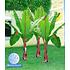 Garten-Welt Winterharte-Bananen-Kollektion 2 Pflanzen grün (3)