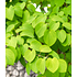Garten-Welt Lebkuchenbaum , 1 Pflanze rot (3)