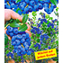 Garten-Welt Beeren-Kollektion , 4 Pflanzen mehrfarbig (3)