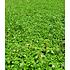 """Garten-Welt Lippia """"Summer Pearls®"""" rosa, 4 Pflanzen rosa (3)"""