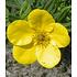 """Garten-Welt Fingerstrauch """"Goldfinger"""" , 1 Pflanze gelb (3)"""