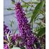 """Garten-Welt Buddleia """"Straight UP - """"Butterfly Tower"""", 1 Pflanze lila (3)"""