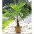 Garten-Welt Winterharte Kübel-Palme 1 Pflanze grün (3)