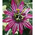 "Garten-Welt Winterharte Passionsblume ""Ladybirds Dream"", 1 Pflanze pink (3)"